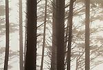 Coastal forest of spruce and hemlock, Olympic Peninsula, Washington