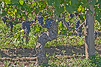 Ripe grape bunches and vines of Cabernet Franc planted at the entrance - Chateau Grand Mayne, Saint Emilion, Bordeaux