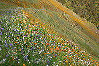 Sierra National Forest, CA<br /> Hillside and path covered with spring flowers with oak trees in the distance along the Moss Creek Trail, Merced River Canyon