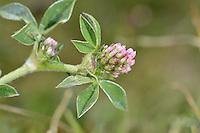 Knotted Clover - Trifolium striatum