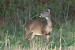 White-tailed doe (Odocoileus virginianus)