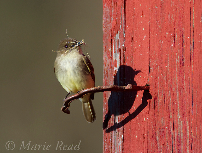 Eastern Phoebe (Sayornis phoebe) with nesting material near its nest site on barn, New York, USA