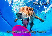 REALISTIC ANIMALS, REALISTISCHE TIERE, ANIMALES REALISTICOS, dogs, paintings+++++SethC_Dagmar_MG_7538rev,USLGSC27,#A#, EVERYDAY ,underwater dogs,photos,fotos ,Seth