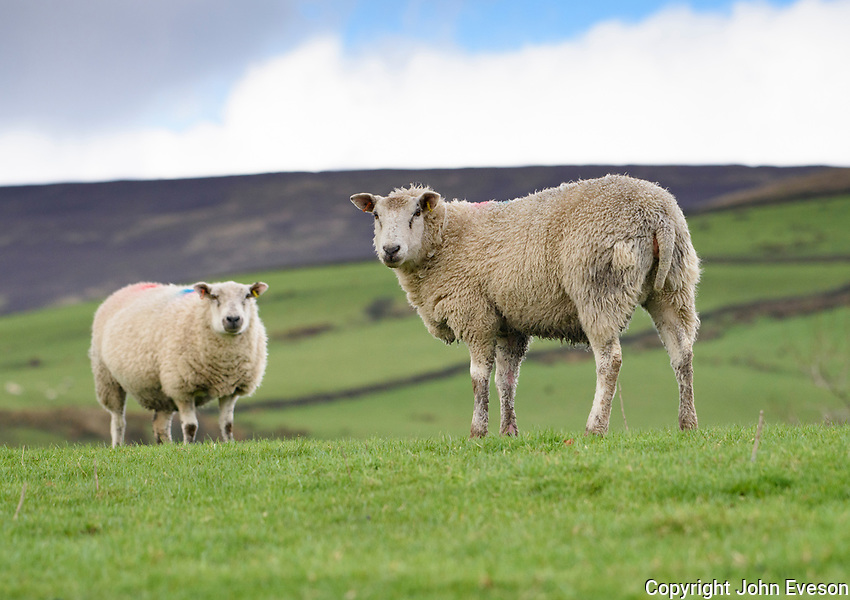 Two ewes, Chipping, Lancashire.