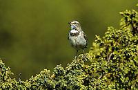 Rotsterniges Blaukehlchen, Weibchen, Luscinia svecica svecica, Cyanosylvia svecica svecica, bluethroat