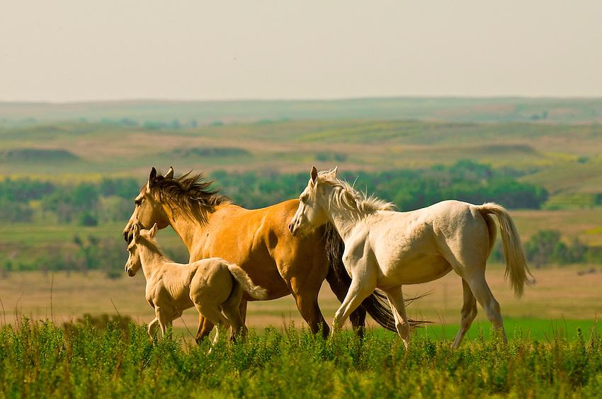 Wild mustangs, Black Hills Wild Horse Sanctuary, Hot Springs, South Dakota USA