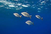 schooling Bermuda or yellow sea chub, Kyphosus sectatrix = sectator or incisor, West End, Grand Bahama, Bahamas, Atlantic Ocean