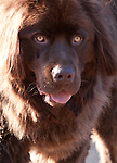 Cuchulainn, the Expectant Brown Newfoundland Dog in Portrait