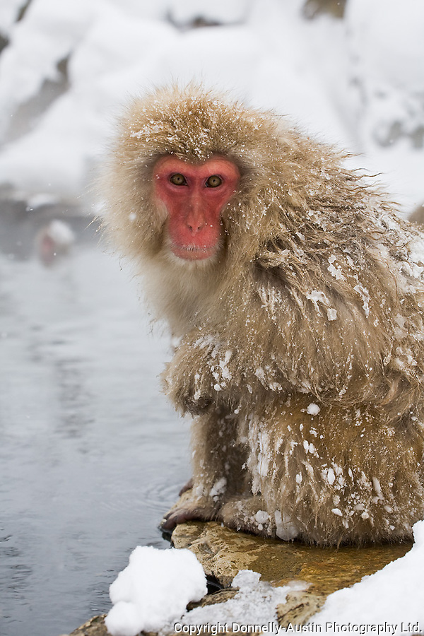 Jigokudani National Monkey Park, Nagano, Japan<br /> Japanese Snow Monkey (Macaca fuscata) on the edge of a hot spring pool at Jigokudani monkey park in the Yokoyu River valley