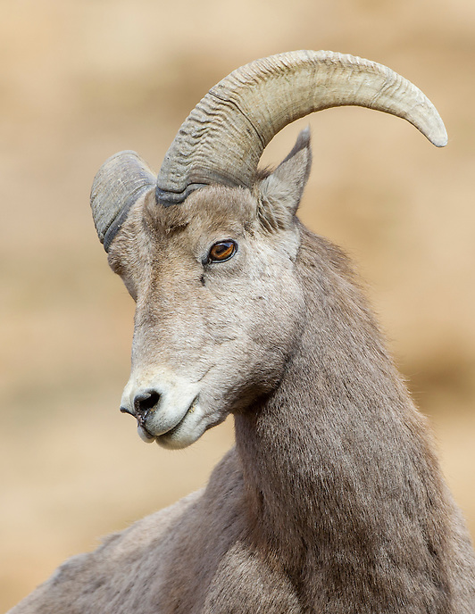 Bighorn Sheep<br />