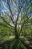 Field Maple - Acer campestre, Stoke Woods, Bicester, Oxfordshire owned by the Woodland Trust