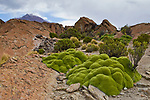 Yareta (Azorella compacta) cushion plants growing in dry puna, Abra Granada, Andes, northwestern Argentina