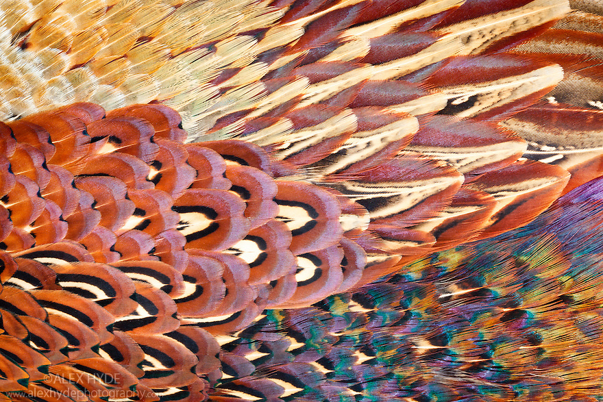 Close up of feathers of cock pheasant {Phasianus colchicus}. Peak District National Park, Derbyshire, UK.