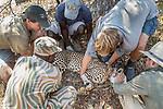 Cheetah (Acinonyx jubatus) biologist, Jake Overton, veterinarian, Kambwiri Banda, biologists, Milan Vinks and Jonah Gula, and park scout, Charles Kalatambala, placing twenty-one month old sub-adult female into shade after collaring, Kafue National Park, Zambia
