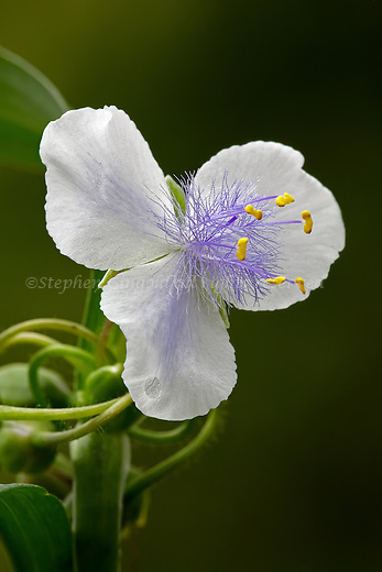 A pale variant Spiderwort blossom.