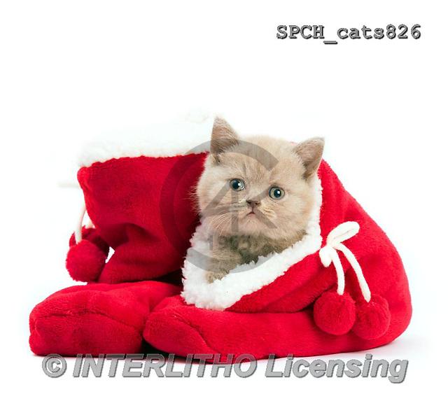 Xavier, CHRISTMAS ANIMALS, WEIHNACHTEN TIERE, NAVIDAD ANIMALES, photos+++++,SPCHCATS826,#XA# ,cats