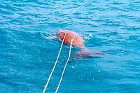 dugong, Dugong dugon, harpooned twice by aboriginal hunters, Torres Straits, Australia
