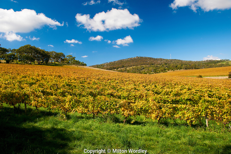 Mt Barker vineyard,adelaide hills,autumn,clouds,petaluma