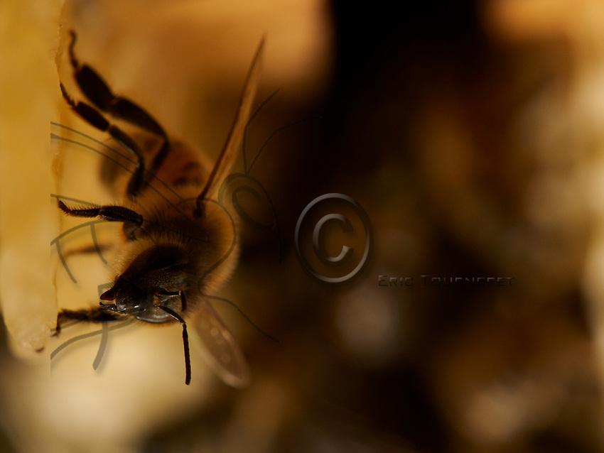 A mason bee on a wax comb in the colony. The wax-making bees are 12 to 19 days old when their wax glands secrete the wax from the honey.<br /> Une ouvri&egrave;re b&acirc;tisseuse sur une rayon de cire dans la colonie. Les ouvri&egrave;res ciri&egrave;res sont &acirc;g&eacute;es de 12 &agrave; 19 jours quand leurs glandes ciri&egrave;res s&eacute;cr&egrave;tent la cire &agrave; partir du miel.