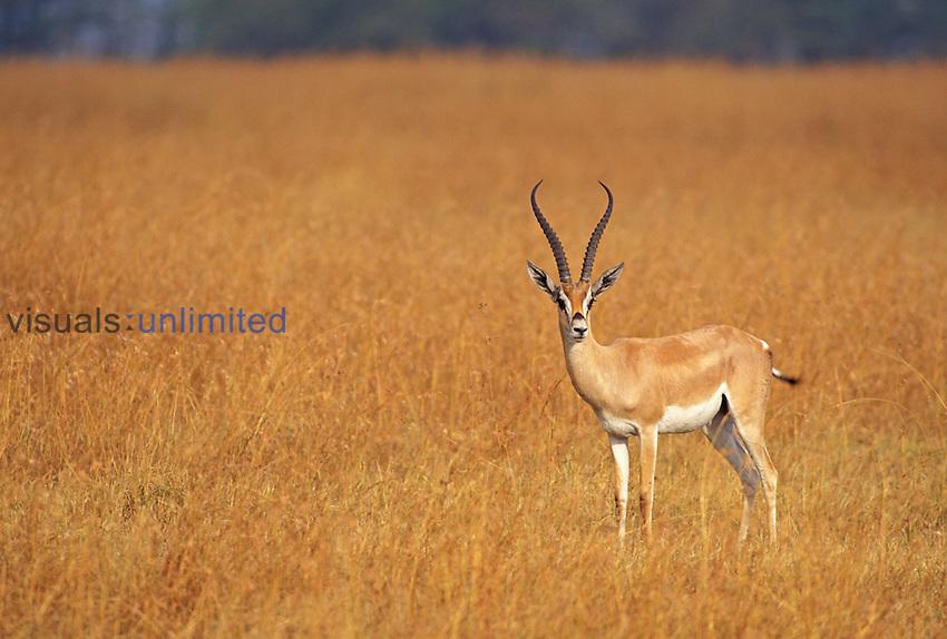 Buck Grant's Gazelle (Gazella granti) Masai Mara National Park, Kenya, Africa.