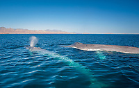 Bblue whale, Baleanoptera musculus, mother and calf, endangered species, near Punta San Marcial, Baja California Sur, Mexico, Guld fo California aka Sea of Cortez, East Pacific Ocean