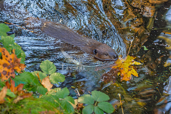 American Beaver (Castor canadensis) swimming in small beaver pond.  Pacific Northwest, October.