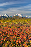 Orange colored dwarf birch covers the autumn tundra, Denali National Park, Alaska.