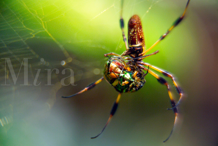 Golden Silk Spider (Nephila clavipes) with beetle.© 2003 Mark J. Barrett.www.markjbarrett.com.tel 352-236-2282
