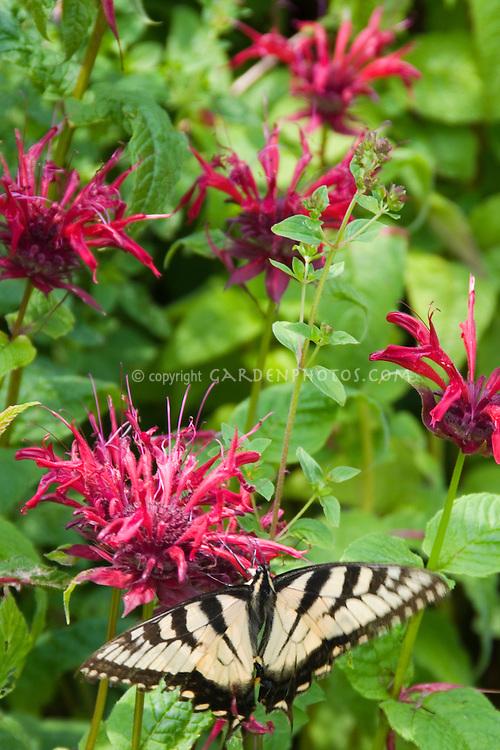 Swallowtail butterfly on beebalm (Monarda didyma)