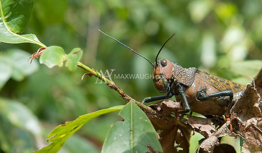 These grasshoppers are pretty massive, growing to over 6 inches long.