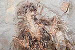 Changchengornis hengdaoziensis, feathered dinosaur, China