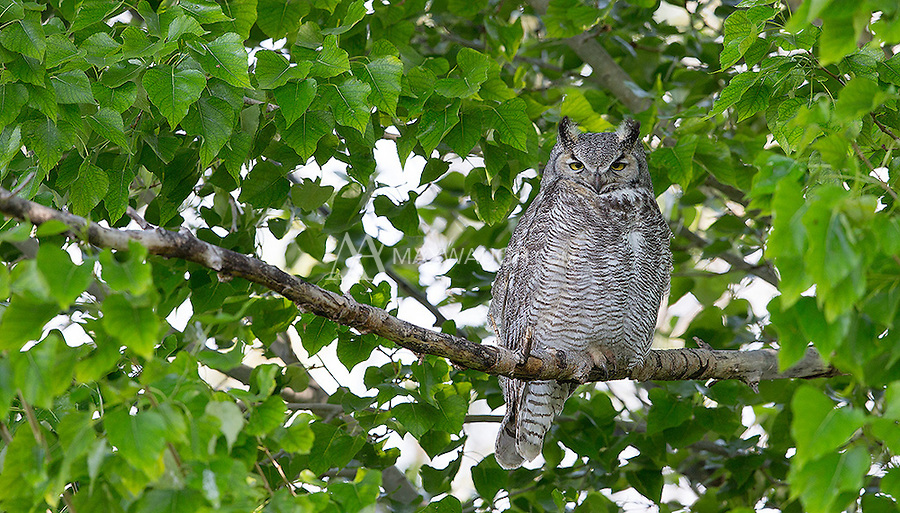 We were fortunate to see a family of adult and juvenile Great horned owls at Market Lake Wildlife Management Area.
