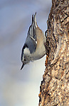 White Breasted Nuthatch, Sitta carolinensis, Canada, on tree trunk hanging upside down
