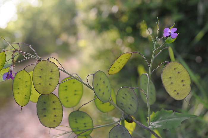 Honesty - lunaria annua - growing by the roadside in Le Marche, Italy