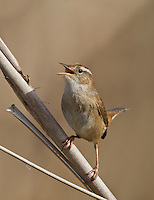 Male marsh wren proclaims his territory by singing from the stem of a cattail at the edge of a marsh.<br /> Sammamish Valley near Redmond, Washington<br /> 4/2/2012