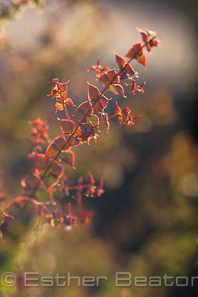 Close up of reddish leaves of Grey Bush-pea (Pultanea cunninghamii) regenerating native ground cover, once grazed by cattle, southeastern Australia