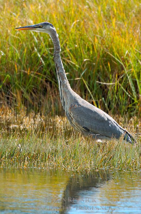 Great Blue Heron Hunting, Obsidian Creek, Yellowstone National Park, Wyoming