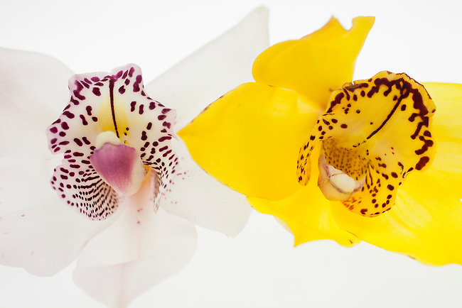 Two Orchids compete for your attention. Look at me, look at me, they scream!