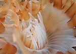 Sand Anemone with white aneomone shrimp, underwater marine life, artistic underwater