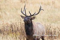 01980-02903 Elk (Cervus elaphaus) bull male, Yellowstone National Park, WY