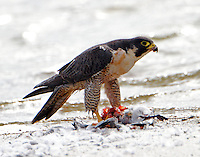 Adult peregrin falcon