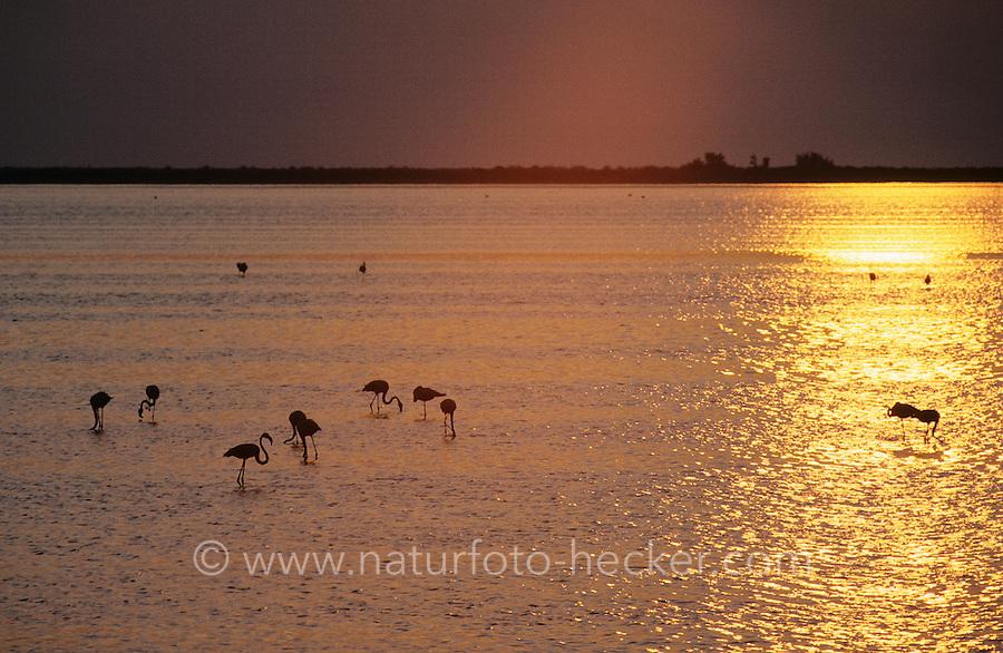 Rosa-Flamingo, Trupp in Lagune beim Sonnenuntergang, Rosaflamingo, Rosa Flamingo, Phoenicopterus roseus, Phoenicopterus ruber, greater flamingo