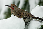 Northern Flicker sitting on a snowy tree and playing in the snow
