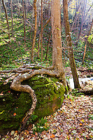 Tree growing out of a rock, Delaware Water Gap, Worthington State Forest, New Jersey