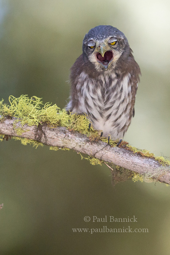 A fledgling Northern Pygmy-owl prepares to cough up a pellet.