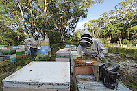 Inspection of the hives. Arriving in 2002, the Aethina Tumida, the Small Hive Beetle, has colonized the whole east coast, Queensland and New South Wales.  The west and the rest of the country as well as Tasmania have been spared thanks to an effective quarantine system between the states, going as far as the prohibition for the beekeepers to transport the hives to the west. The centre of Australis is a desert, a veritable natural barrier. /// Inspection des ruches. Arrivé en 2002 du petit coléoptère Aethina Tumida, le Small Hive Beetle a colonisé toute la côte Est, le Queensland et la nouvelle Galles du Sud. Le reste du pays, l'Ouest est préservé ainsi que la Tasmania par un système de quarantaine efficace entre états, allant jusqu'à l'interdiction de transporter des ruches vers l'ouest pour les apiculteurs. Le centre de l'Australie est un désert, c'est une véritable barrière naturelle.