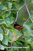 01618-011.01 Orchard Oriole (Icterus spurius) male at nest,  Marion Co. IL