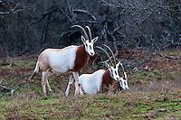 Three Scimitar Oryx