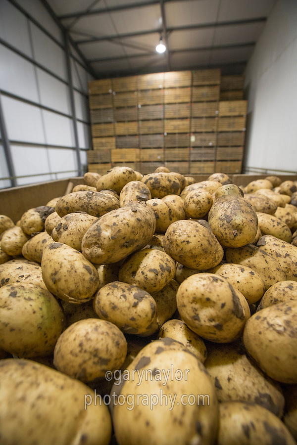 Maris Piper potatoes being loaded into a refrigerated box store - September, Lincolnshire