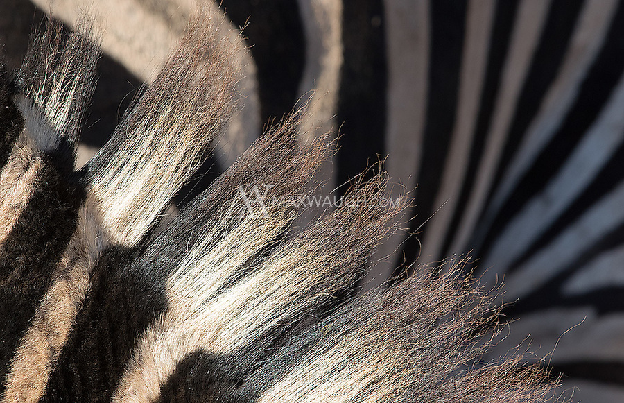 A close-up of Burchell's zebras.